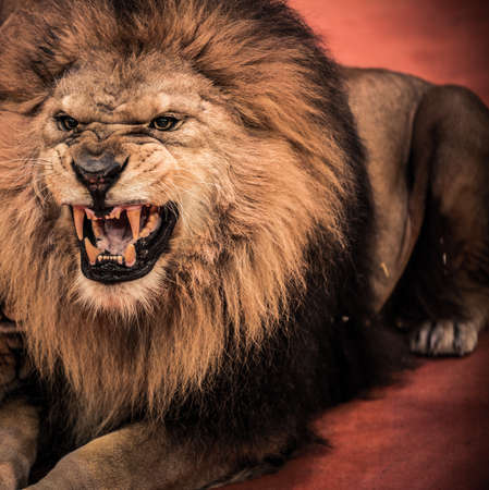 roar: Close-up shot of  gorgeous roaring lion in circus arena Stock Photo