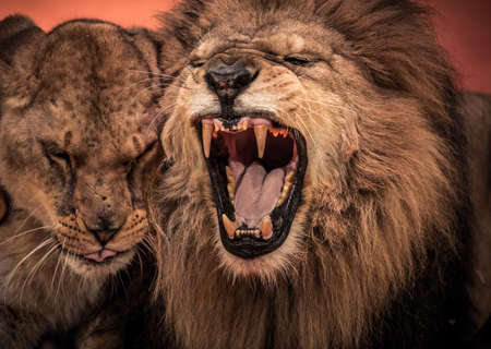 fangs: Gorgeous roaring lion and lioness on circus arena Stock Photo