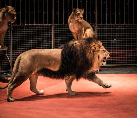 Gorgeous roaring lion walking on circus arena and lioness sitting photo