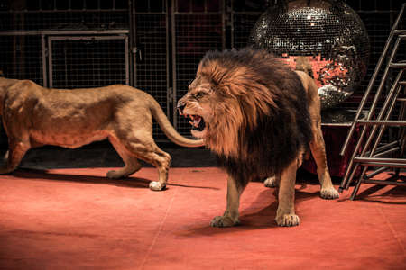 angry lion: Gorgeous roaring lion walking on circus arena  Stock Photo
