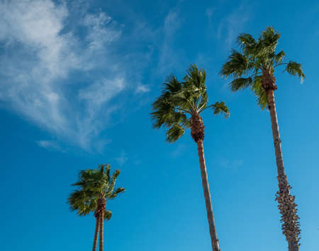 Three tall palm trees against blue sky photo