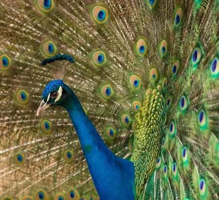 mating colors: Close-up shot of a peacock Stock Photo