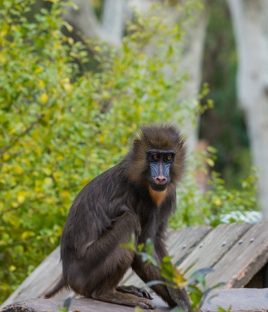 Mandrill sitting on a log photo