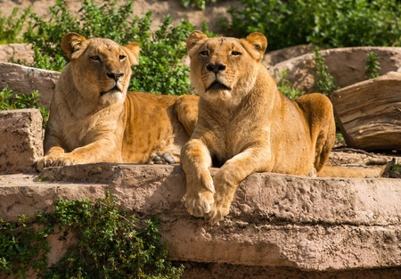 lions rock: Tow gorgeous lioness in natural habitat