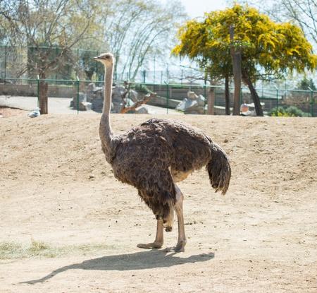 Ostrich in a zoo photo