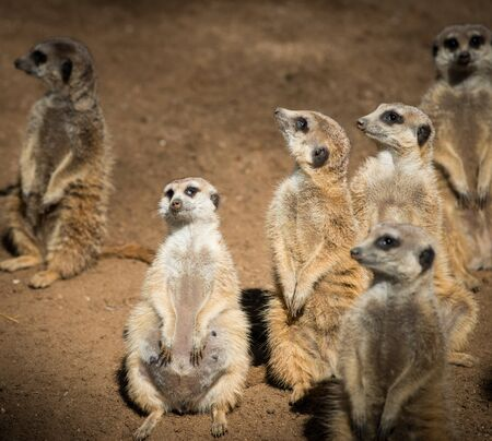 suricata suricatta: Clan of beautiful meerkats