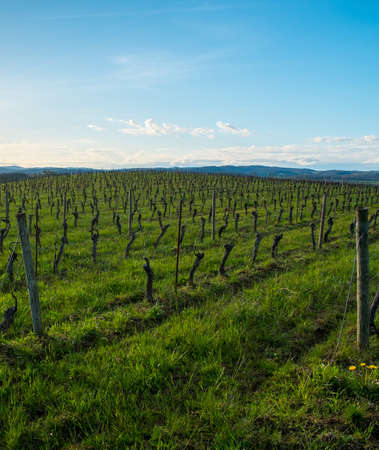 Vineyard view on a beautiful spring day Stock Photo - 19831077