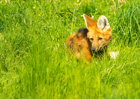 untamed: Maned wolf in a green grass