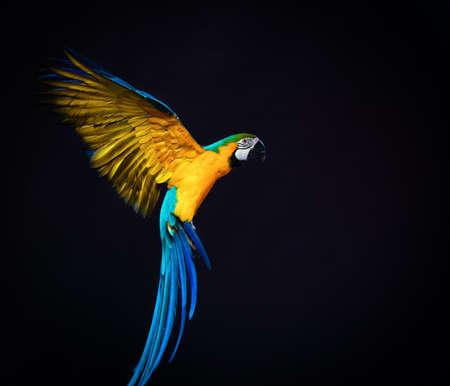 guacamaya: Ara colorido volando sobre un fondo oscuro Foto de archivo