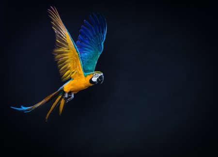loros verdes: Ara colorido volando sobre un fondo oscuro Foto de archivo