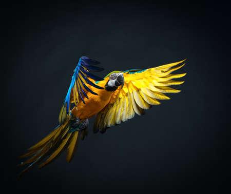 pajaros volando: Ara colorido volando sobre un fondo oscuro Foto de archivo