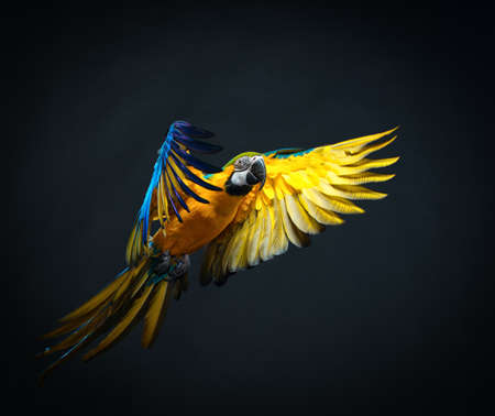 alone bird: Colourful flying Ara on a dark background
