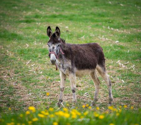 Donkey on a meadow photo