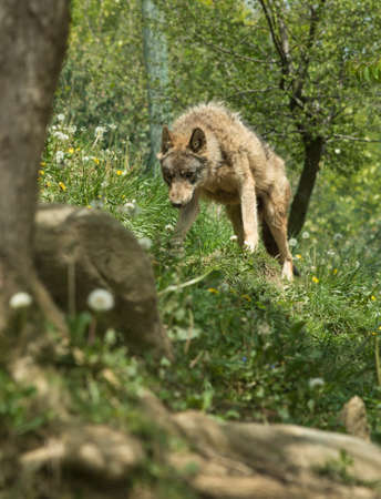 dog rock: Angry wolf standing on a hill