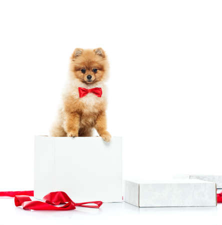 Little funny spitz with bow tie inside gift box photo