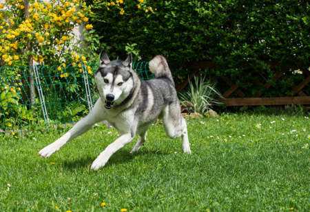 gray wolf black and white: Beautiful husky playing on a green meadow