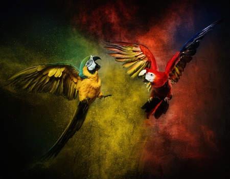 Two parrots fighting against colourful powder explosion