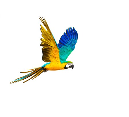 Colourful flying parrot isolated on white Stock Photo - 33457461