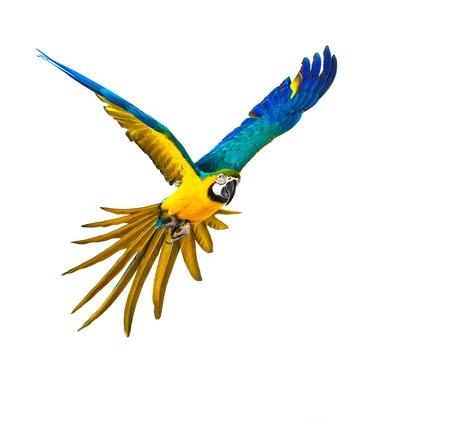 Bunte Papageien fliegen, isoliert auf weiss Standard-Bild - 33457465