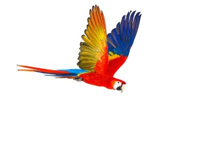 Perroquet voler coloré isolé sur blanc Banque d'images - 33457468