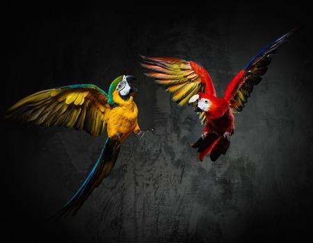 Twee kleurrijke papegaaien vechten