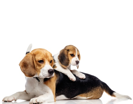 Hermosa familia beagle aislado en blanco Foto de archivo