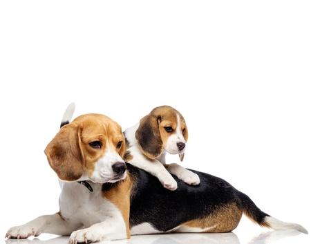 Mooie beagle familie op wit wordt geïsoleerd Stockfoto