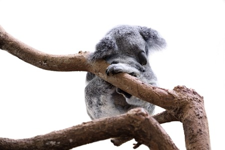 Cute sleeping koala isolated on white Reklamní fotografie - 49591371