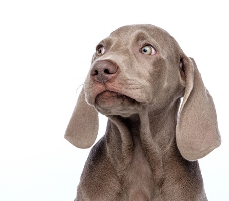 Weimaraner dog isolated on white Фото со стока