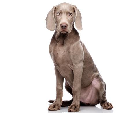 Weimaraner hond geïsoleerd op wit