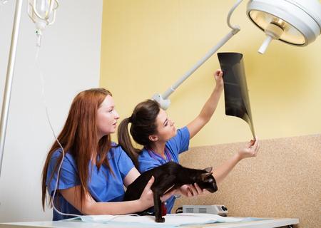 Los veterinarios enfermeras que examinan la radiografía de un gato Foto de archivo - 52721852