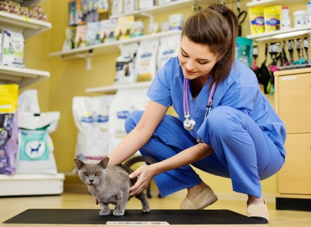 Veterinarian putting cat on the weight scale at veterinarian clinic.