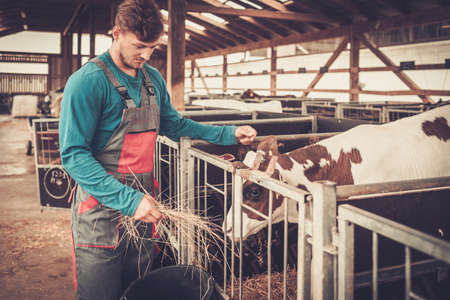 Young farmer feeding calf in the cowshed in dairy farm. Reklamní fotografie