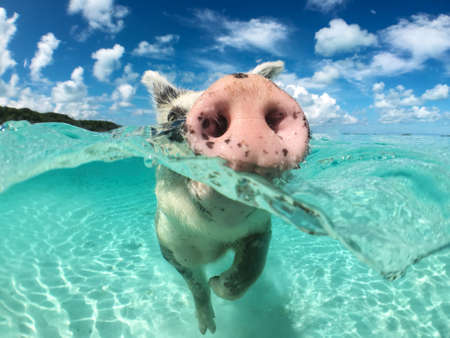 Wild, swiming pig on Big Majors Cay in The Bahamas.