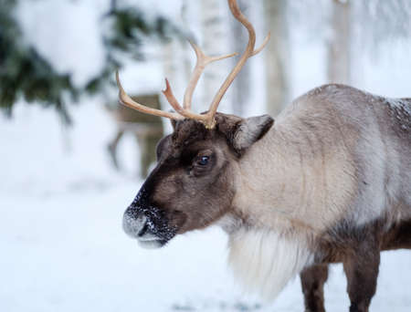 Reindeer in a winter landscape. Stock Photo