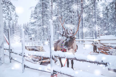 Reindeers in a winter landscape.