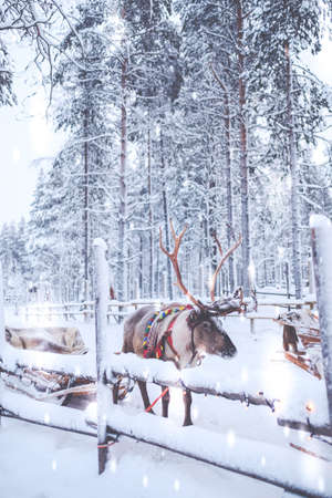 Reindeers in a winter landscape.