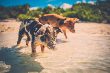 Wild, swimming piglets on Big Majors Cay in The Bahamas Stock Photo - 94549250