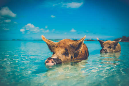 Wild, swimming pig on Big Majors Cay in The Bahamas Stock Photo - 94549375