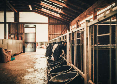 Calves in the cowshed on a dairy farm. 스톡 콘텐츠