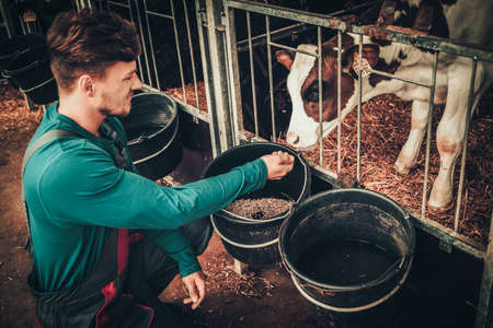 Young farmer feeding calf in the cowshed in dairy farm. Stok Fotoğraf