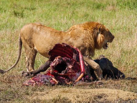 Afrikanischer Löwe nahe totem Kapbüffel in Kenia