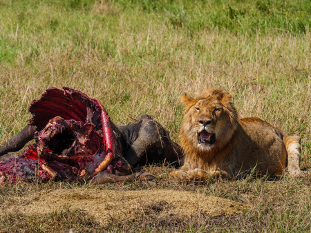 East african lion protecting his cape buffalo prey Stock Photo