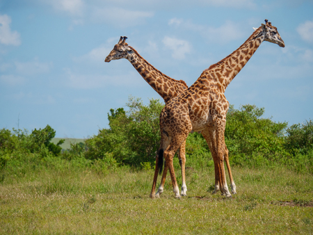 Reticulated giraffe couple in a Kenya.