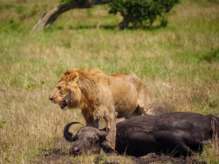 East african lion protecting his cape buffalo prey Imagens