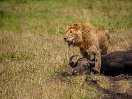 León africano cerca de búfalos muertos en Kenia