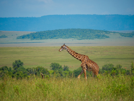 Reticulated giraffe in a Kenya.