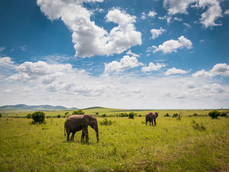 African elephants in Masai Mara park Kenya Stock Photo