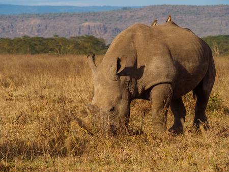 Rhino in Masai Mara park, Kenya