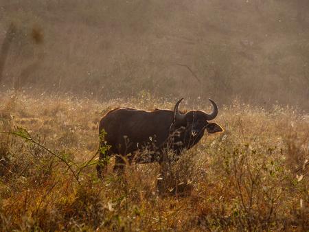 African buffalo in Masai Mara park Kenya